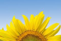 Nahes hohes der Sonnenblume Stockfotos