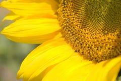 Nahes hohes der Sonnenblume Stockfoto