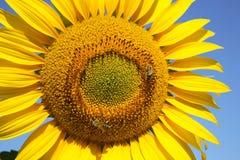 Nahes hohes der Sonnenblume Lizenzfreies Stockbild
