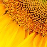Nahes hohes der Sonnenblume stockfotografie