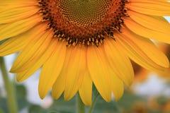 Nahes hohes der Sonnenblume Stockbilder