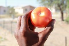 Nahes hohes der Tomate Lizenzfreie Stockfotografie