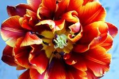 Nahes hohes der Tulpe stockbild