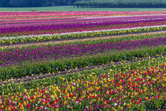 Nahes hohes der Tulpe lizenzfreie stockbilder