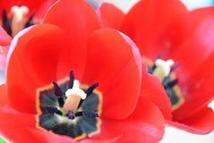 Nahes hohes der Tulpe Lizenzfreies Stockbild