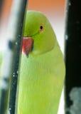 Nahes hohes des Auges des Papageien einer stockbild