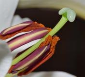 Nahes hohes des Blütenstaubs - weißer langer Stamm Lily Stigma Lizenzfreies Stockbild