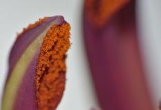Nahes hohes des Blütenstaubs - weißer langer Stamm Lily Stigma Stockbild