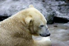 Nahes hohes des Eisbären Lizenzfreies Stockfoto