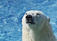 Nahes hohes des Eisbären Stockfotos