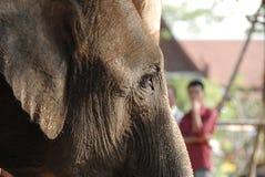 Nahes hohes des Elefanten Stockbilder