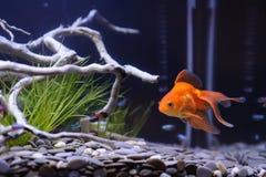Nahes hohes des Goldfisches Lizenzfreie Stockfotos