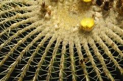 Nahes hohes des Kaktus Stockfoto