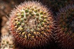 Nahes hohes des Kaktus stockfotografie
