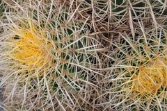 Nahes hohes des Kaktus Stockbilder