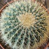 Nahes hohes des Kaktus Lizenzfreies Stockfoto