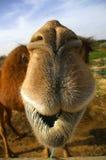 Nahes hohes des Kamels Stockbilder