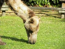 Nahes hohes des Kamels stockfotos