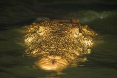 Nahes hohes des Krokodils Lizenzfreie Stockbilder