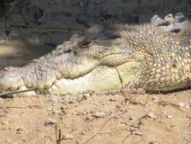 Nahes hohes des Krokodils Lizenzfreie Stockfotos
