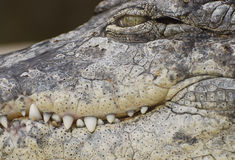 Nahes hohes des Krokodils Stockbild