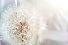 Nahes hohes des Löwenzahns Blühende Japan-Kirschbaumnahaufnahme Lizenzfreies Stockbild