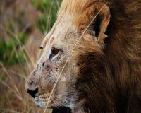 Nahes hohes des Löwes stockbild