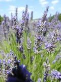 Nahes hohes des Lavendels Stockfotografie