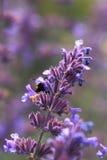Nahes hohes des Lavendels Stockfoto