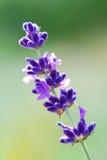 Nahes hohes des Lavendels Lizenzfreies Stockbild