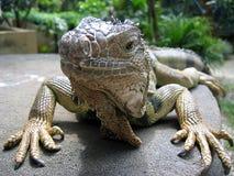 Nahes hohes des Leguans Stockfoto