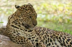 Nahes hohes des Leoparden Lizenzfreies Stockbild