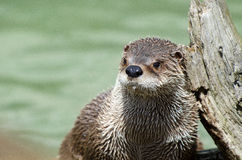 Nahes hohes des Otters Lizenzfreie Stockfotos