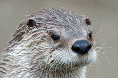 Nahes hohes des Otters Stockfoto
