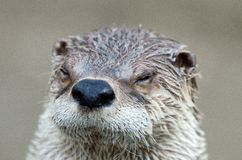 Nahes hohes des Otters Stockfotos