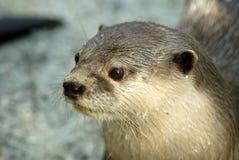 Nahes hohes des Otters Stockbilder