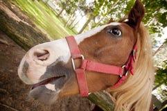 Nahes hohes des Pferds Stockfotografie
