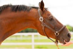 Nahes hohes des Pferds Stockbilder