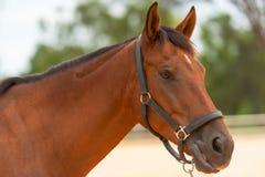 Nahes hohes des Pferds Lizenzfreies Stockfoto