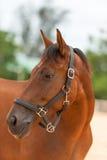 Nahes hohes des Pferds Stockfoto