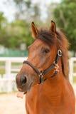 Nahes hohes des Pferds Lizenzfreie Stockbilder