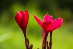 Nahes hohes des Plumeria stockfotos
