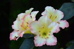 Nahes hohes des Rhododendrons Lizenzfreie Stockfotos