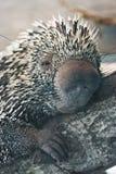 Nahes hohes des Stachelschweins Lizenzfreie Stockbilder