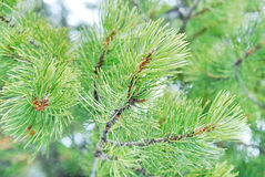Nahes hohes des Tannenbaums lizenzfreies stockfoto