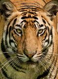 Nahes hohes des Tigers Lizenzfreie Stockfotografie