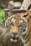 Nahes hohes des Tigers Lizenzfreie Stockfotos