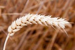 Nahes hohes des Weizens Lizenzfreie Stockbilder