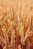 Nahes hohes des Weizens Stockbild