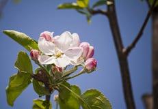 Nahes hohes Foto einer blühenden Apfelbaumblume lizenzfreie stockfotografie